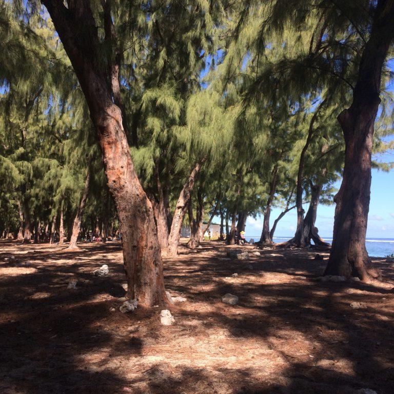 Forêt de filaos proche de la plage